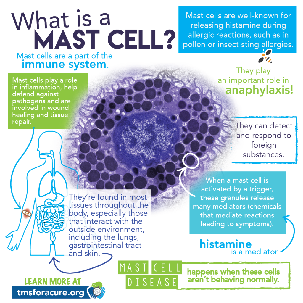 What is a mast cell?